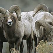 A Group Of Bighorn Sheep Rams Art Print