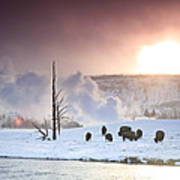 A Group Of Bison Feeding In The Snow Print by Drew Rush