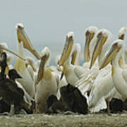 A Group Of Eastern White Pelicans Print by Klaus Nigge