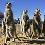 A Group Of Meerkats Standing Guard Art Print