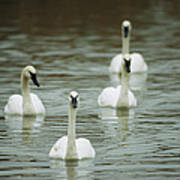 A Group Of Swans Swimming On A County Art Print