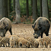 A Group Of Young Wild Boars Nose Art Print