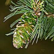 A Growing Pine Cone Art Print