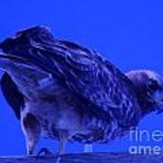 A Hawk Looks Back  Art Print
