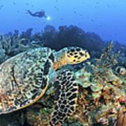 A Hawksbill Turtle Swims Art Print