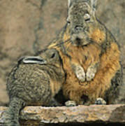A Herbivorous Viscacha Nurses Her Baby Art Print