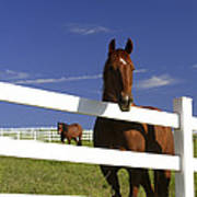 A Horse Peers Over A Fence Art Print