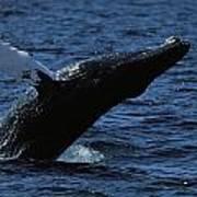 A Humpback Whale Breaching Art Print