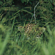 A Jaguar Peeks Out From The Foliage Art Print