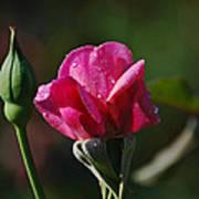 A Knockout Rose Art Print