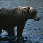 A Kodiak Brown Bear Hunts For Fish Art Print by George F. Mobley