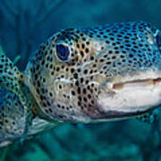 A Large Spotted Pufferfish Art Print