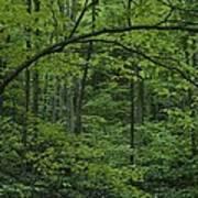 A Lush Green Eastern Woodland View.  An Art Print