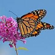 A Monarch Butterfly, Danaus Plexippus Art Print by Darlyne A. Murawski