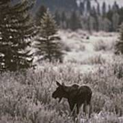 A Moose In A Frost-covered Field, Grand Art Print