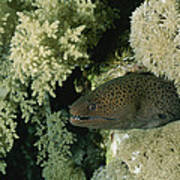A Moray Eel Pokes Its Head Art Print