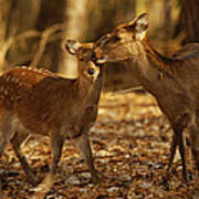 A Mother And Fawn Sika Deer Art Print