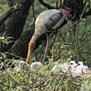 A Painted Stork Feeding Its Young At The Delhi Zoo Art Print