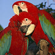 A Pair Of Captive Red-and-green Macaws Art Print