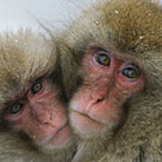 A Pair Of Japanese Macaques, Or Snow Art Print