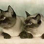A Pair Of Siamese Cats Art Print