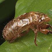 A Periodical Cicada Exoskeleton Art Print