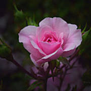A Pink Rose Art Print