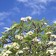 A Plumeria Caracasana Tree In Full Art Print