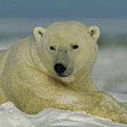A Polar Bear, Ursus Maritimus, Lounges Art Print
