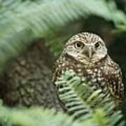 A Portrait Of A Captive Burrowing Owl Art Print