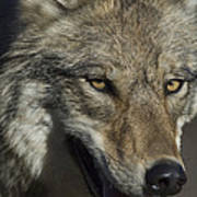 A Portrait Of A Gray Wolf Art Print