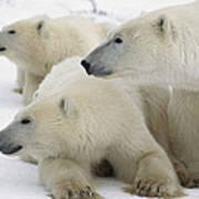 A Portrait Of A Polar Bear Mother Art Print