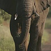 A Portrait Of An African Elephant Art Print