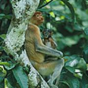 A Proboscis Monkey Art Print