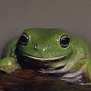 A Queensland Subspecies Of Green Tree Art Print