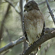 A Red Shouldered Hawk Perches In A Tree Art Print