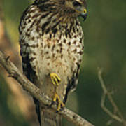 A Red Shouldered Hawk Perches On A Tree Art Print