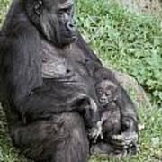A Relaxed Western Lowland Gorilla Art Print