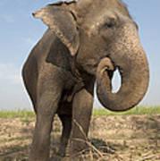 A Rescued Asian Elephant Eats Sugar Art Print