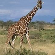 A Reticulated Giraffe On A Samburu Art Print