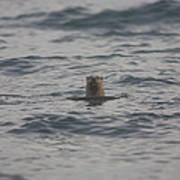 A River Otter Sticks His Head Art Print