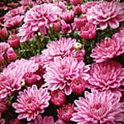 A Sea Of Pink Chrysanthemums Art Print