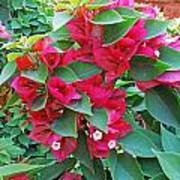 A Section Of Pink Bougainvillea Flowers Art Print
