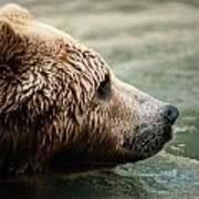 A Side-view Of A Captive Kodiak Bear Art Print by Tim Laman