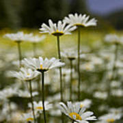 A Small Group Of Daisies Stands Art Print