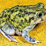 A Spadefoot Toad Art Print