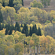A Stand Of Aspen And Evergreen Trees Art Print