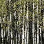 A Stand Of Aspen Trees At Wolf Creek Print by Rich Reid