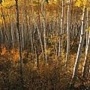 A Stand Of Aspen Trees Displaying Art Print