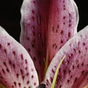 A Stargazer Lily Lilium Orientalis Art Print
